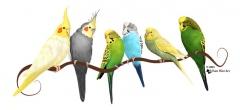 Parrakeets & Cockatiels