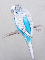 Blue White Budgie