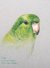 Saker- Lineolated Parakeet