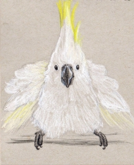 Silly Cockatoo