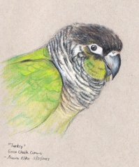 Turkey - Green Cheek Conure
